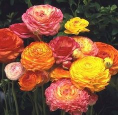 Ranunculus! I love them! They mean radiant. I are one of my absolute favorite type flowers.