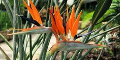 L'oiseau de paradis pousse au bord des fleuves et dans les clairières d'Afrique du Sud, mais en France, comme elle a besoin de 10°C minimum, elle est essentiellement cultivée en serre, plus particulièrement par des professionnels.