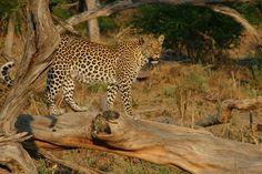 Beautiful leopard sightings at Little Vumbura, a Wilderness lodge in the Kwedi Reserve in the Okavango Delta Okavango Delta, African Animals, Wilderness, Safari, Interview, Wildlife, Southern, The Incredibles, Tours