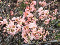 Chaenomeles x superba 'Coral Sea', Japanese Quince 'Coral Sea', Flowering Quince 'Coral Sea', Japanese Flowering Quince, Pink flowers, Early Spring blooms