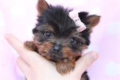 Image result for yorkshire terriers