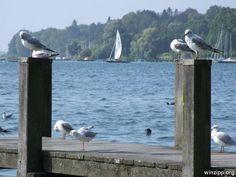 Möven am Starnberger See