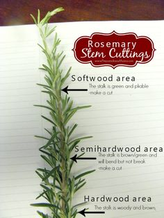 Learn to make Rosemary Stem Cuttings | PreparednesMama