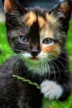 Beautiful calico kitty, exceptional markings.