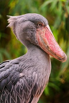 """I am proud to be a Shoebill. My huge bill is awesome. My outstanding special feature makes me feel so good. I am happy to be """"ME"""". I don't really care what you think or say about me! Pretty Birds, Beautiful Birds, Animals Beautiful, Wild Animals Pictures, Bird Pictures, Kinds Of Birds, All Birds, Exotic Birds, Colorful Birds"""