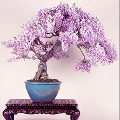 Free shipping  lilac mini bonsai wisteria tree seeds Indoor ornamental plants   10 particles-in Bonsai from Home, Kitchen & Garden on Aliexpress.com | Alibaba Group