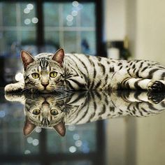 Awesome Bengal.