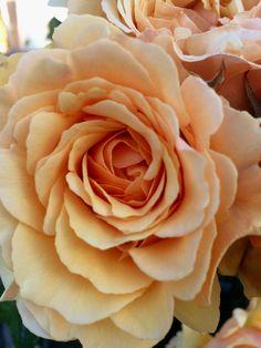 Розы в саду 🌹