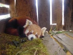 Red Panda Network. ALL about how to help protect the little guys