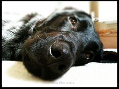 the Lab is the right dog for you. #LAB #dogs