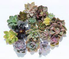 10 rosette succulent cuttings 2-4 10 rosette succulent