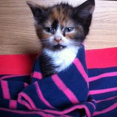 #Cats #Cat #Kittens #Kitten #Kitty #Pets #Pet #Meow #Moe #CuteCats #CuteCat #CuteKittens #CuteKitten #MeowMoe Awww, this cat is gorgeous! ... http://www.meowmoe.com/9491/