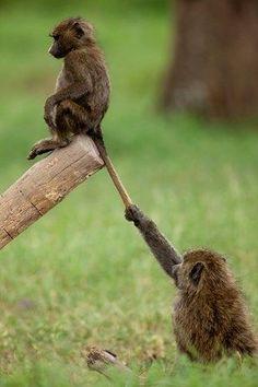 Kenya, Nakuru national park, babouin doguera (Papio hamadryas anubis), youngs playing