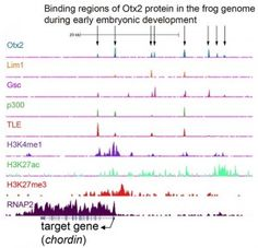 An example of the result of ChIP-sequence analysis. Binding of various proteins to the genome DNA of Xenopus tropicalis embryos is presented as a peak. Through binding to DNA, these proteins are suggested to regulate chordin, which is an important gene during early development. This study has shown that Otx2 and Lim1 bind to the upstream region of the chordin gene to turn it on in the organizer. © 2014 Yuuri Yasuoka and Masanori Taira. #UTokyoResearch