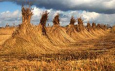 Reed in WaterReijk Weerribben Wieden