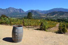 Vineyard in Stellonbosch #wine #southafrica #travel