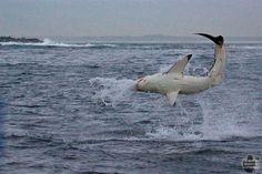 Seal Island è un posto unico al mondo. Un isolotto granitico in mezzo alla False Bay, in Sud Africa, 'occupato' da oltre 70mila otarie orsine del Capo. E' qui che ogni mattina all'alba le otarie tornano dalla caccia notturna. Ed è qui, in queste acque gelide, che i grandi squali bianch
