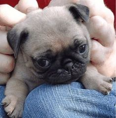 """So ugly that they are cute"" Well it may be true, but pugs are one of the best breeds you can own! Playful yet super cuddly and laid back. Everyone needs a pug once in their life!"