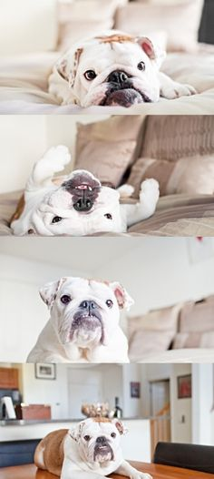 English Bulldog...hopefully in a year we will have one of these stupid looking nuggets!