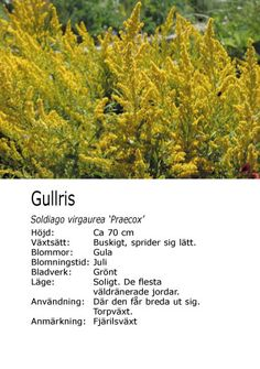 #sommar #fjäril #sol Solidago virgaurea 'Praecox' - Gullris Herbs, Sun, Herb