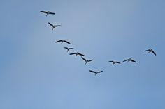 Pássaros voando em formação V