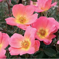 144 best plants for my zone images on pinterest gardening the most floriferous knock out rose yet rainbows single flowered blooms open orange then turn coral pink with a gold base and yellow center before mightylinksfo