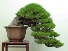 Cascading Japanese Black pine