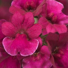 Nemesia Raspberry - Viherpeukalot