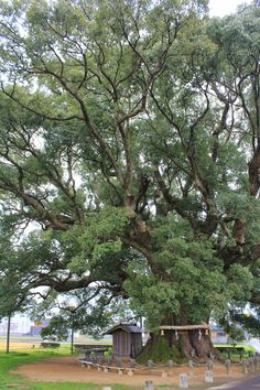 This is the biggest camphor tree in Japan. It's growing in Higashi-Miyoshi, Tokushima Prefecture