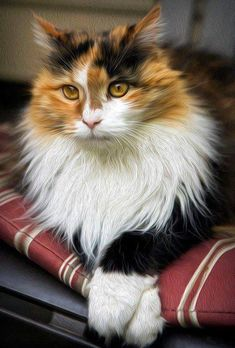 Long Haired Calico Cat #cats