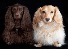 Two Dachshunds; photo by Doxieone Photography