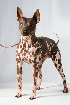 What do you know about the American Hairless Terrier? This breed is especially great for allergy sufferers! What do you know about the American Hairless Terrier? This breed is especially great for allergy sufferers! Rare Dogs, Rare Dog Breeds, Akc Breeds, Terrier Breeds, Terrier Dogs, Rat Terriers, Hairless Animals, Pet Dogs, Dogs And Puppies