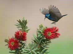 Palestine Sunbird. by Yaki Zander