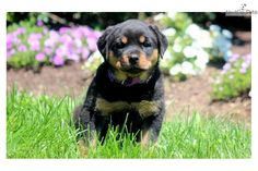 You'll love this Female Rottweiler puppy looking for a new home.