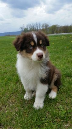 Red tricolor Australian shepherd puppy. #aussie | DOGS ...