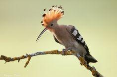 Pinceladas de la naturaleza: La abubilla, tiene mala fama por el olor de su nido gezien in Portugal
