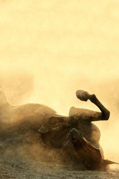 brazenbvll:  awww, one big baby      Arabian Horse: (Katarzyna Okrzesik)