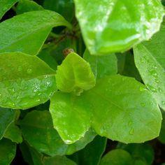 Longevity Plant for Diabetes and High-Cholesterol ( Gynura Procumbens – Gardens of Wendiland