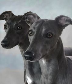 blue whippets