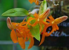 Ботанический сад | Аптекарский огород | ВКонтакте  8 сен 2016 в 7:53 Dendrobium unicum 🔶 @ Ботанический сад МГУ «Аптекарский огород»
