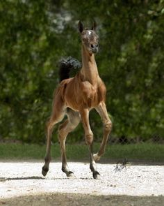 Her flamboyance at the trot leaves you with the impression the ground is on fire - her feet are always off the ground, and her beauty is remarkable....what an attitude!