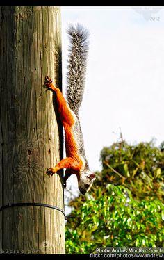 I love these costa rican squirrels! Cute Squirrel, Squirrels, France Love, Nosara, Rodents, Costa Rica, Beaches, Creatures, Pura Vida