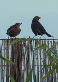 (64) TumblrFledgling blackbird and its parent