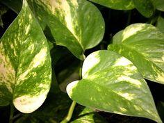 Plantas de interior : Epipremnum aureum