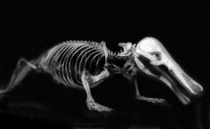 Platypus skeleton (Ornithorhynchus anatinus) by Olli38, via Flickr