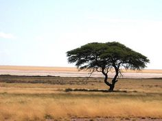 Out of Africa Tree
