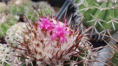 Melocactus curvispinus ssp. delessertianus