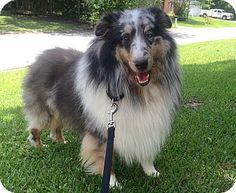 7/6/15 Mt Pleasant, SC - Sheltie, Shetland Sheepdog. Meet Jase a Dog for Adoption.
