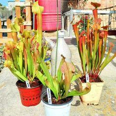 Sarracenias #sarracenia #sarracenias #barba #tygo #alata #carnívoras #carnivorousplants #plantascarnivoras #plantas #plants #green #verde #jardin #garden #decoration #deltadelebre #deltebre #insectívoras #insect #big #amazing #awesome #flytraps by barberafranch