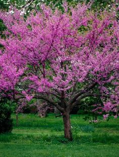 One package of 25 seeds Also known as the Judas Tree, Eastern Redbud is found throughout the eastern United States. Highly valued as an ornamental, flowers early in the spring even before other leaves appear. Eastern Redbud is the state tree of Oklahoma. Dogwood Trees, Flowering Trees, Redbud Trees, Garden Trees, Trees To Plant, Tree Planting, Flowers Garden, Fruit Trees, Garden Art